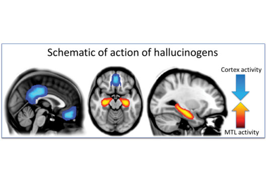 how do hallucinogens work on the brain the psychologist